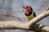 Black-collared barbet - Lybius torquatus