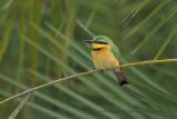 Little Bee-eater - Merops pusillus