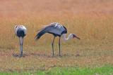 Wattled crane - Grus carunculata