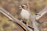White-browed Sparrow-weaver - Plocepasser mahali