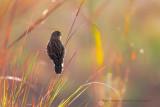 Fan-tailed Widowbird - Euplectes axillaris