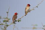 Red-headed Quelea - Quelea erythrops