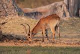 Red Lechwe - Kobus leche