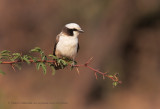 Southern White-crowned Shrike - Eurocephalus anguitimens