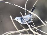 blue-gray gnatcatcher BRD9636.JPG