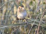 leconte's sparrow BRD9529.JPG