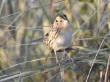 leconte's sparrow BRD9533.JPG