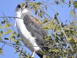 white-tailed hawk BRD9646.JPG