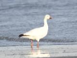 snow goose BRD9717.JPG