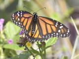 monarch butterfly BRD9774.JPG
