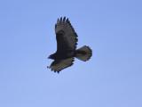 red-tailed hawk BRD9786.JPG