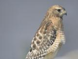 red-shouldered hawk BRD9802.JPG