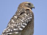 red-shouldered hawk BRD9813.JPG