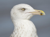 herring gull BRD9823.JPG