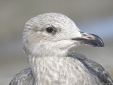 herring gull BRD9834.JPG