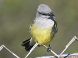 western kingbird BRD0044.JPG