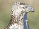 red-tailed hawk BRD0315.JPG