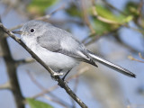 blue-gray gnatcatcher BRD0445.JPG
