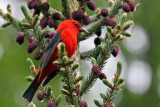 IMG_5335a Scarlet Tanager.jpg