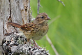 IMG_1801a Lincoln's Sparrow immature .jpg