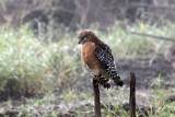 3F8A5433a Red-shouldered Hawk .jpg
