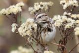 3F8A1970a Song Sparrow.jpg
