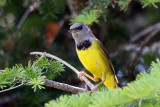 3F8A7276a Mourning Warbler.jpg