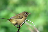 3F8A0679a Common Yellowthroat - female.jpg