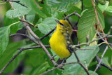 3F8A4352a Blue-winged Warbler.jpg