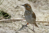 Sparrows, Juncos and Towhees