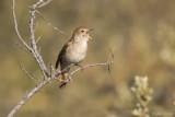 Nachtegaal/Common nightingale
