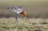 Grutto/Black-tailed godwit