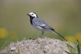 Witte kwikstaart/White wagtail