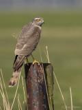 Sperwer/Sparrow hawk