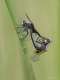 Gevlekte witsnuitlibel/Leucorrhinia pectoralis &#9794&#9792