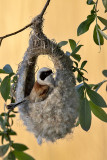 Buidelmees/Eurasian penduline tit
