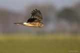 Blauwe kiekendief/Hen harrier