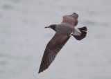 North American Gulls