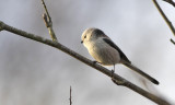 long_tailed_tit_