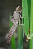 Hairy Dragonfly exuvia