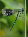 Banded Demoiselle (immature male)