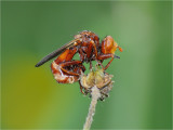 Conopid Fly (Thick-headed Fly) Sicus ferrugineus