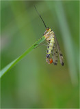 Scorpion Fly (male))