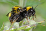 Mating Early Bumblebees (Bombus pratorum)