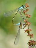 Blue Tailed Damselflies