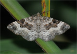 Common Carpet Moth