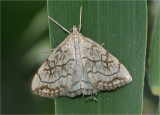 Chequered Straw (Evergestis pallidata)