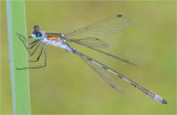 Emerald Damselfly (male)