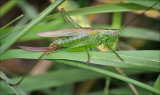 Long-winged Conehead (female)