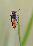 Sawfly (Dolerus madidus)